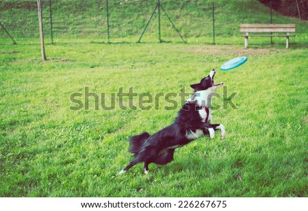 border collie in action. catching frisbee at the park  - stock photo