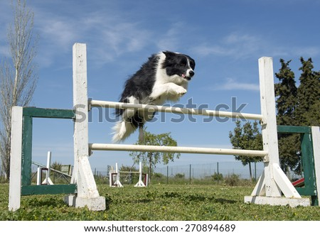border collie in agility - stock photo