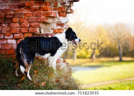 Border Collie in park