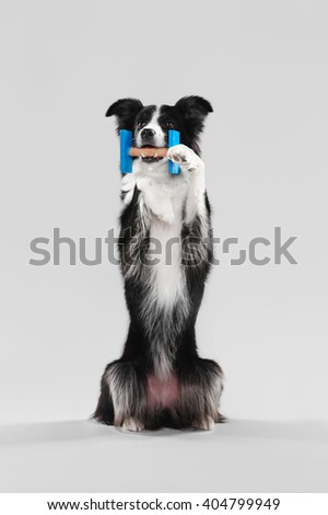 Border Collie in the studio holding a dumbbell