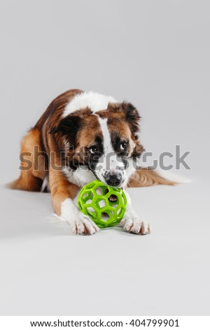Border Collie in the studio playing with a golden ball