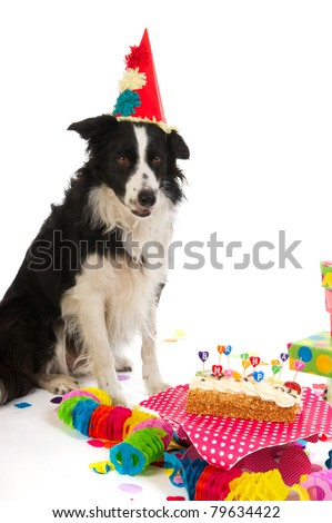 Border Collie is having a colorful birthday - stock photo