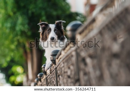 Border Collie is hiding behind a fence, city