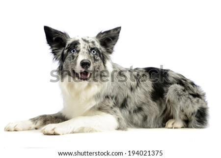 Border Collie is in the white background