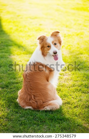 Border Collie is sitting on the grass - stock photo