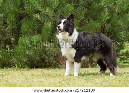 Border collie is standing on the lawn. Horizontally. - stock photo