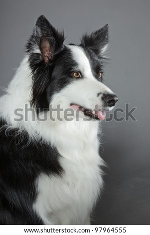 Border collie isolated on grey background - stock photo