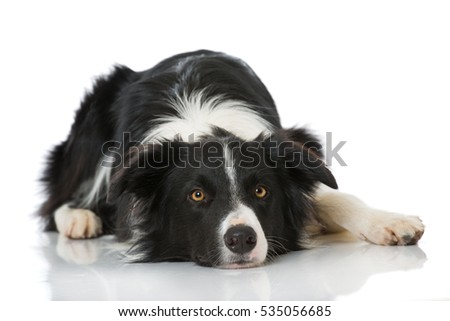 Border Collie isolated on white