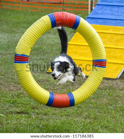Border Collie jumping through a hoop - stock photo