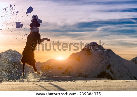 Border collie jumps in the snow - stock photo
