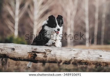 Border Collie leaping over a hurdle