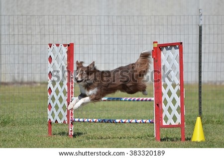 Border Collie Leaping Over a Winged Jump at a Dog Agility Trial - stock photo