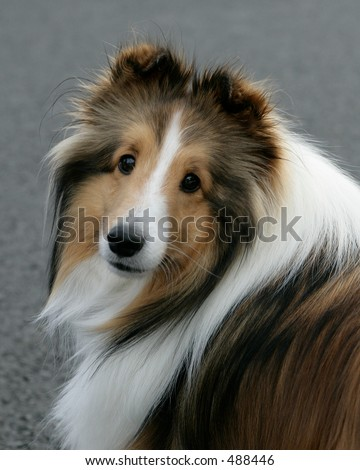 border collie looking back at me - stock photo