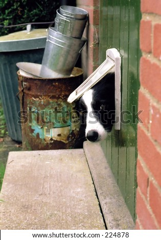 Border Collie looking through a cat flap - stock photo
