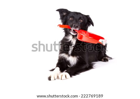 Border collie lying and holding a broom tool on a white background  - stock photo