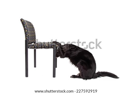 Border Collie Mix Breed Dog with paws on a chair bowing his head into a prayer position - stock photo