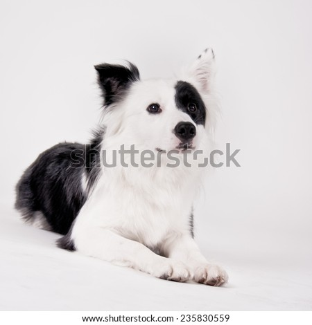 border collie mixed breed - stock photo