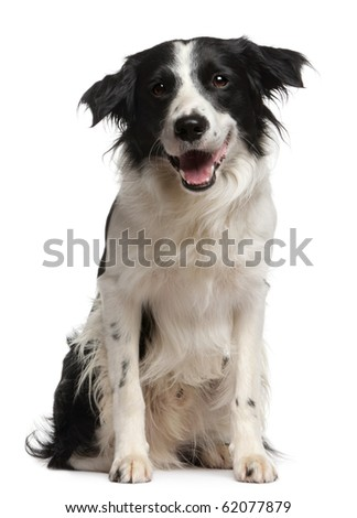 Border collie, 12 months old, sitting in front of white background - stock photo