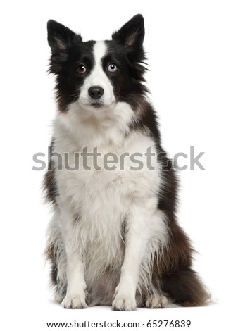 Border Collie, 11 months old, sitting in front of white background - stock photo