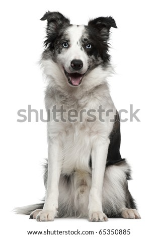 Border Collie, 10 months old, sitting in front of white background - stock photo