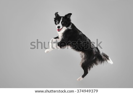 Border Collie on a gray background, isolate