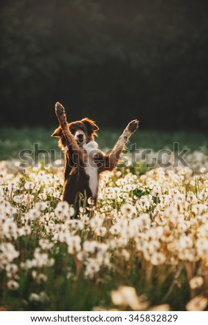 Border Collie on the meadow of dandelions