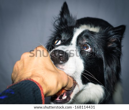 border collie playing - stock photo