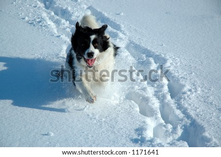 Border Collie playing in snow - stock photo