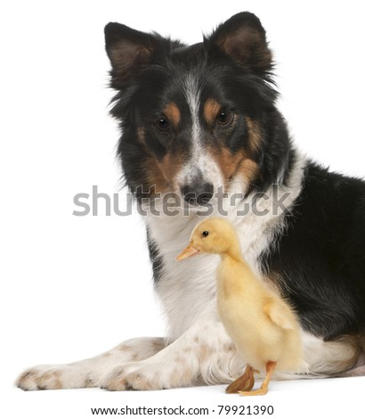 Border Collie playing with duckling, 1 week old, in front of white background - stock photo