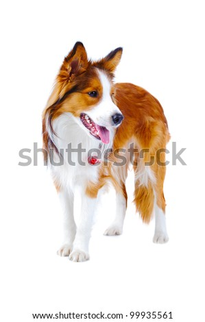 Border collie portrait, isolated on the white background - stock photo