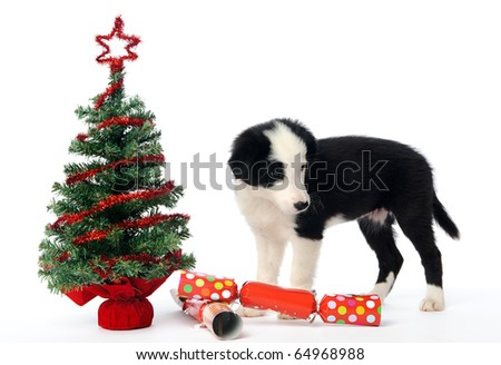 Border collie pup with christmas tree and crackers - stock photo