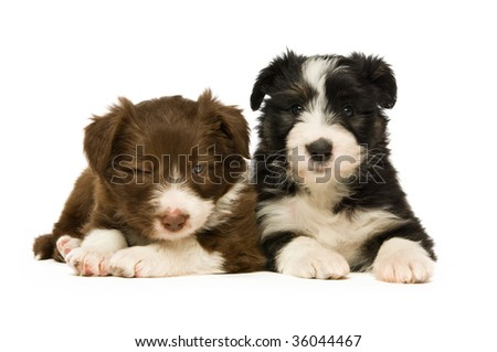 Border Collie puppies isolated on a white background - stock photo