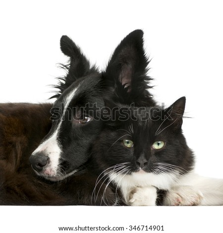 Border Collie puppy and a cat in front of a white background - stock photo
