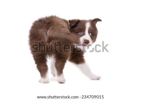 Border Collie puppy dog biting its own tail in front of a white background - stock photo