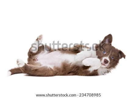 Border Collie puppy dog playing silly in front of a white background - stock photo
