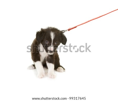 Border collie puppy first time on a leash - stock photo