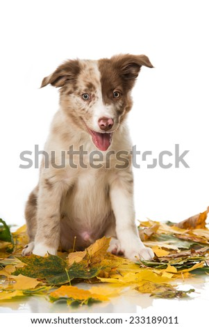 Border Collie puppy in autumn leaves - stock photo