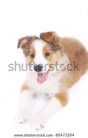 border collie puppy isolated - stock photo