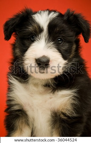 Border Collie puppy isolated on a red background - stock photo