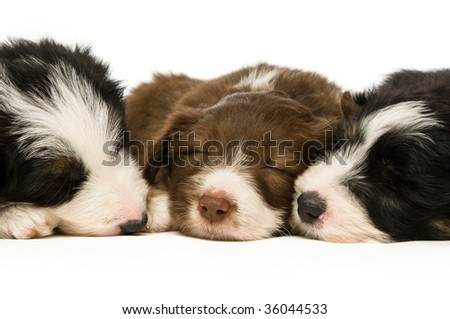 Border Collie puppy isolated on a white background while sleeping - stock photo