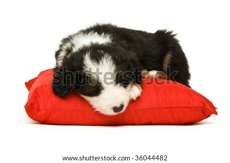 Border Collie puppy isolated on a white background while sleeping on a red cushion - stock photo