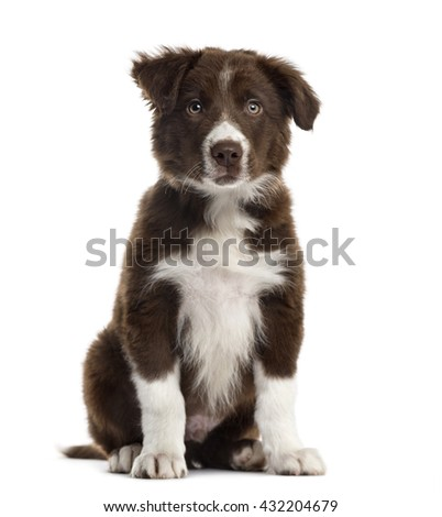 Border Collie puppy looking at the camera and sitting, isolated on white
