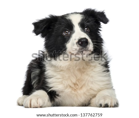 Border Collie Puppy, 3 months old, lying down and looking up, isolated on white  - stock photo