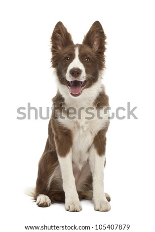 Border Collie puppy, 5 months old, sitting against white background - stock photo