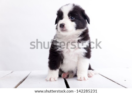 Border collie puppy, on a white background - stock photo