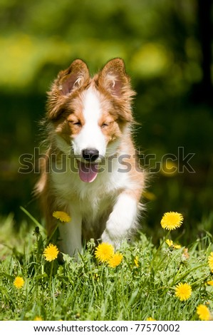 border collie puppy sitting in the dandelions - stock photo