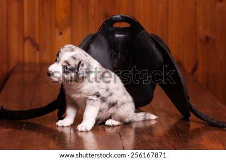 Border Collie puppy sitting next to a saddle for ponies and see the world - stock photo