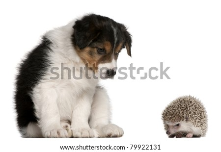 Border Collie puppy, 6 weeks old, playing with a hedgehog, 6 months old, in front of white background - stock photo