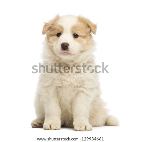 Border Collie puppy, 6 weeks old, sitting in front of white background - stock photo