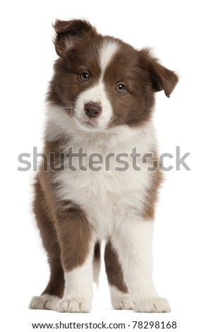 Border Collie puppy, 8 weeks old, standing in front of white background - stock photo